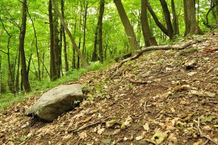 Spring forest scene with big stone in left bottom corner photo