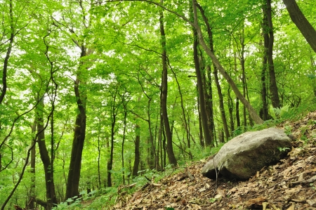 Spring forest scene with big stone in right bottom corner photo