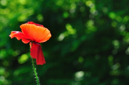 Detail view of beautiful red poppy with blurred natural green background and space on right side