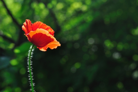 Detail view of beautiful red poppy with blurred natural green background and space on right side photo