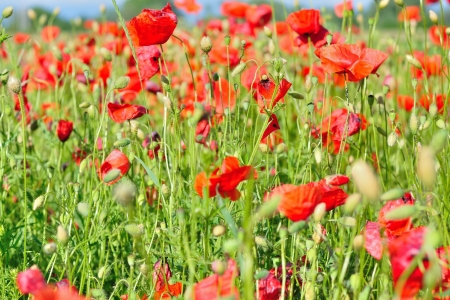 Field of red wild poppies on a sunny day Stock Photo - 20170545