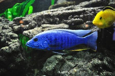 aquarian fish: Blue and yellow fish in aquarium