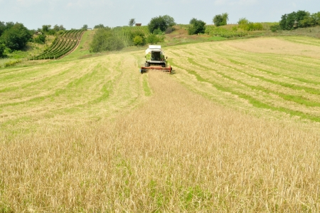 Combine harvester in the wheat field during harvesting photo