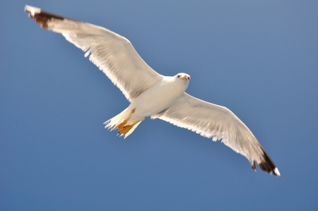 White Seagull with spread wings flying against a blue sky  Croatia photo