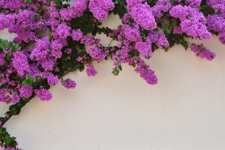 Beautiful purple Bougainvillea flowers against white wall as background