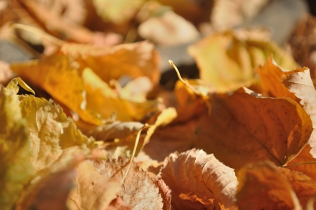 Brown fallen autumn leaves on the ground as natural background Stock Photo