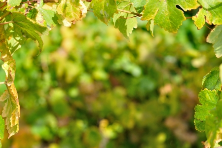 Natural background framed by vine leaves Stock Photo
