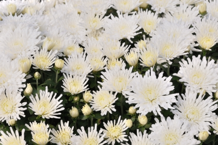 Background of white chrysanthemum flowers photo