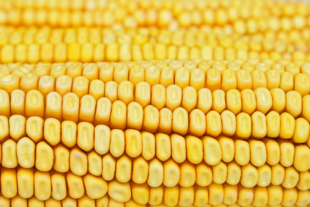 Detail shot of yellow corn kernels for background