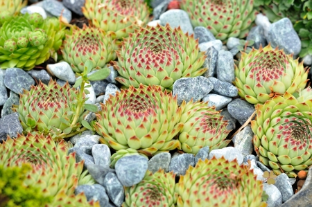 Small green plant, houseleek between gray stones Stock Photo