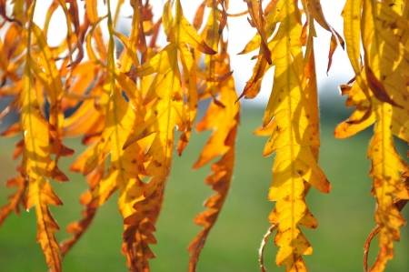 Detail of backlit yellow autumn leaves on a sunny day  photo