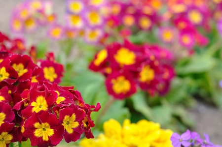 polyanthus: Assorted blooming spring primulas in colorful flower bed Stock Photo