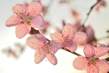Abteilung Der Aprikose Baum Mit Weißen Blüten Im Frühjahr. Unscharfe ...