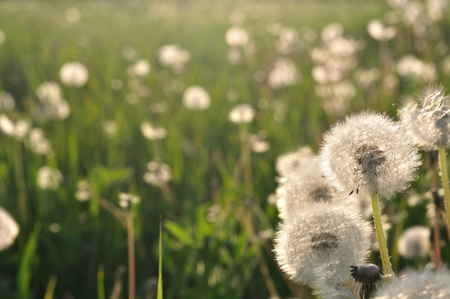 Dandelions in the meadow in spring  Space on left side Stock Photo