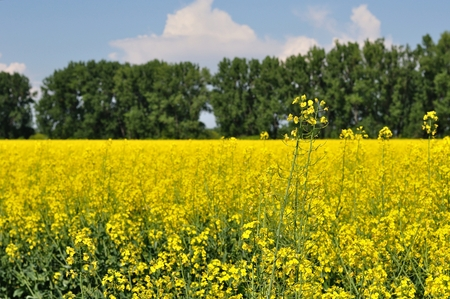 Yellow canola  Brassica napus L   field with blue sky and trees