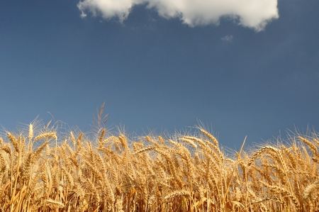 Golden wheat field with blue sky and white clouds in background