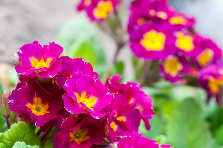 purple floral: Blooming pink spring primulas in flower bed Stock Photo