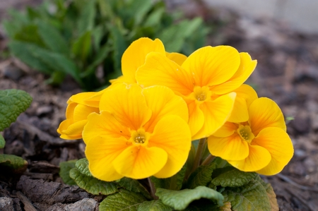 polyanthus: Blooming yellow spring primulas in flower bed