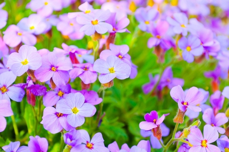 Close up of purple blossoms of Aubrieta flowers in a garden