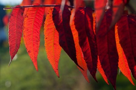 Detail of backlit red autumn leaves on a sunny day