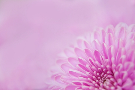 Detail of beautiful purple chrysanthemum flower in right bottom side of image. Blurred background