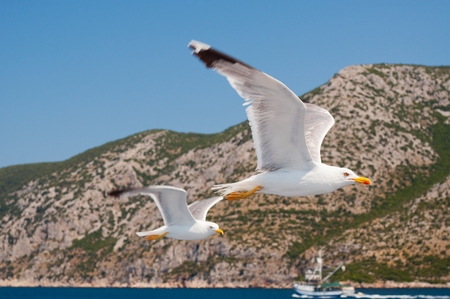 spread wings: Two white Seagull with spread wings flying over blue sea near Korcula in Croatia Stock Photo