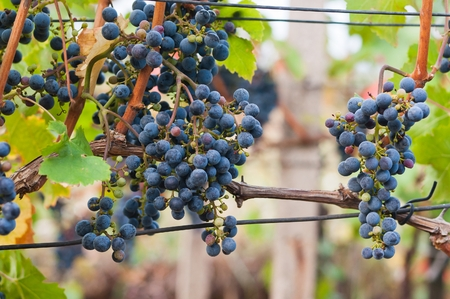 cabernet: Bunch of red wine grape Cabernet Sauvignon in vineyard ready to harvest. Stock Photo