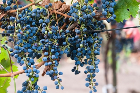 sauvignon: Bunch of red wine grape Cabernet Sauvignon in vineyard ready to harvest. Stock Photo
