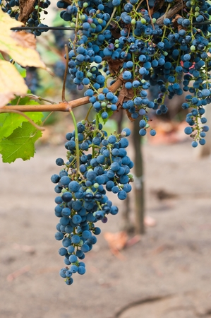 oenology: Bunch of red wine grape Cabernet Sauvignon in vineyard ready to harvest. Vertical image