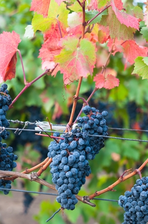 oenology: Bunch of red wine grape Bibor Kadarka - Purple Kadarka in vineyard ready to harvest. Bibor Kadarka is a Hungarian bred red wine grapes. Vertical image