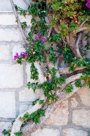 Mediterranean plant on buildings wall