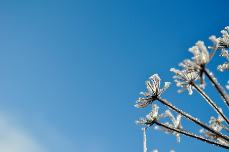 Dry plant covered with snow and ice against the blue sky in winter time. Winter natural background. Space in left side.