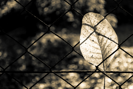 rusty wire: Fallen autumn walnut tree leaf caught on rusty wire mesh fence, detailed macro closeup, solitude concept, gentle bokeh. Sepia effect Stock Photo