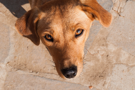 Portrait of cute brown puppy dog looking up at the camera in outdoor