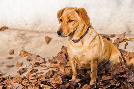 Cute brown dog lying on the dry leaves on the ground in autumn. Space on left side