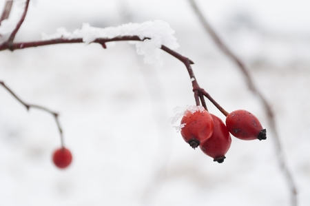 briar bush: The red rose-hip berries covered with snow in a cold winter day. Horizontal image