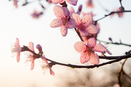 gean: Branch of the apricot tree with pink flowers in spring
