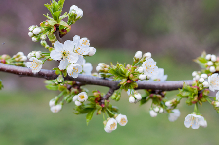 gean: Branch of white cherry flowers in spring time. Blurred natural background