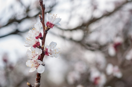 gean: Branch of the apricot tree with white flowers in spring. Blurred natural background