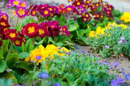 Assorted blooming spring primulas in colorful flower bed Stock Photo