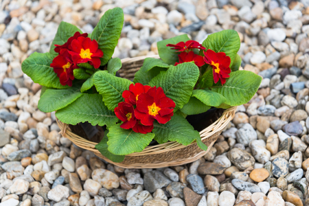 Three blooming red primulas in the basket in the springtime Stock Photo