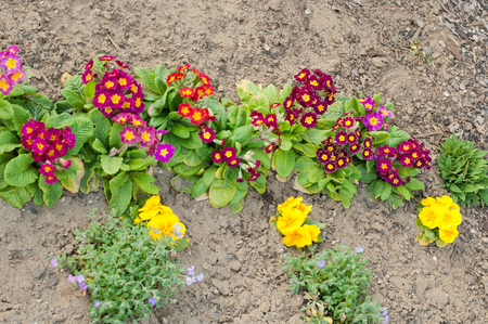 Assorted blooming spring primulas in colorful flower bed. Top view Stock Photo