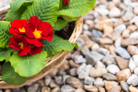 Closeup of three blooming red primulas in the basket on pebbles in the springtime. Stock Photo