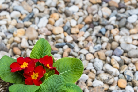 Closeup of three blooming red primulas in the basket on pebbles in the springtime. Space in top and right side
