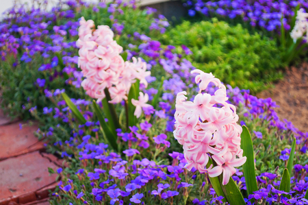 Close detail of beautiful pink hyacinth (Hyacinthus orientalis) bloomed on a flowerbed in spring