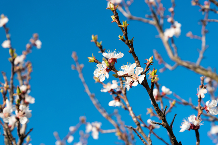 gean: Branch of the apricot tree with white flowers in spring against blue sky Stock Photo