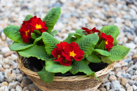 Blooming three red primulas in the basket in the springtime
