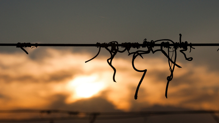 Silhouette of vine crook on wire  in the vineyard in the sunset with cloudy sky