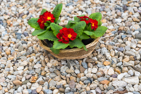 Three blooming red primulas in the basket on pebbles in the springtime