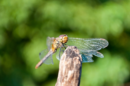 Dragonfly with green blurred background